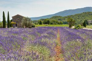 Fields of lavandel in Luberon, Provence